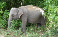Vild elefant i vejkanten
