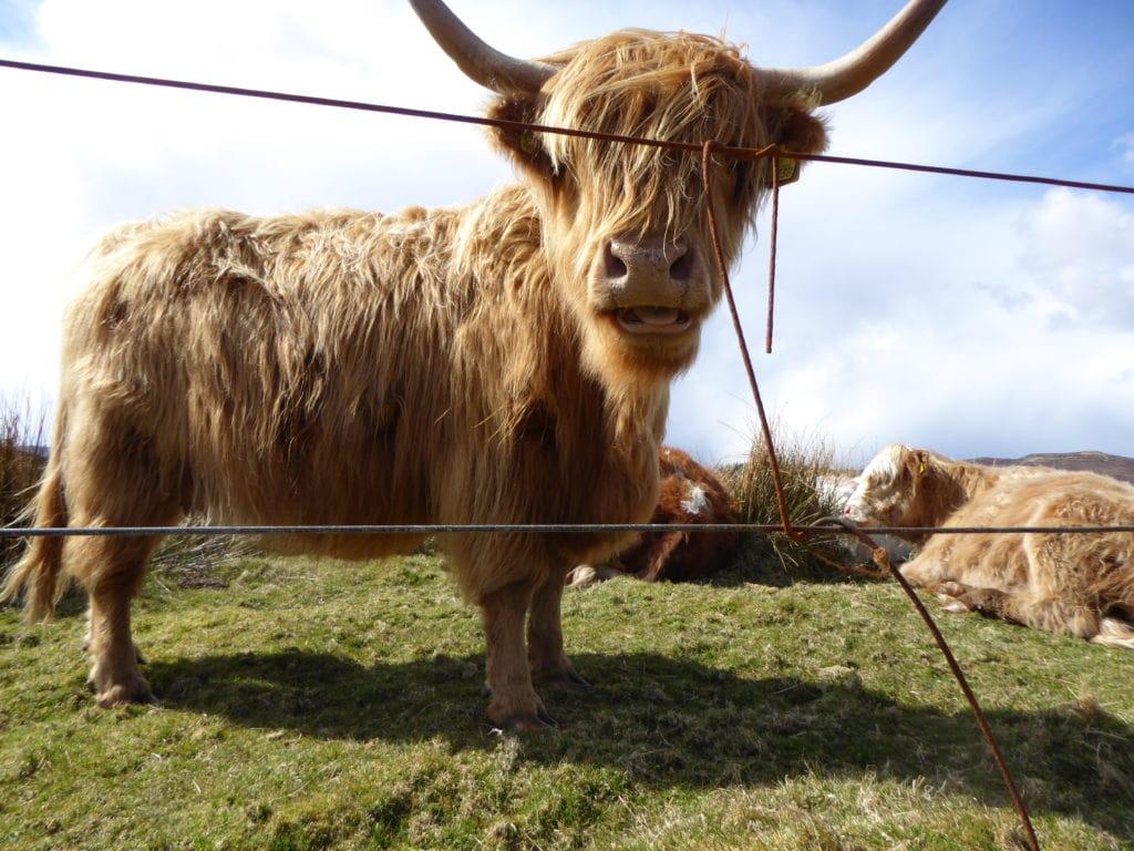 Skotsk ko