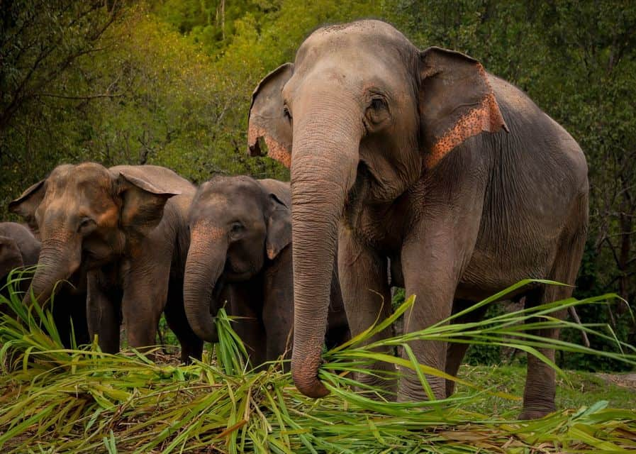 elefanter phuket